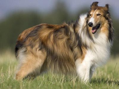 Dog, Collie, Germany