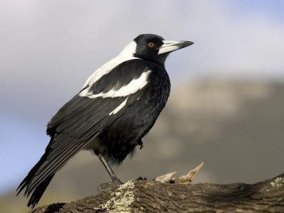 Australian Magpie (Gymnorhina Tibicen), Wilsons Promontory National Park, Victoria, Australia