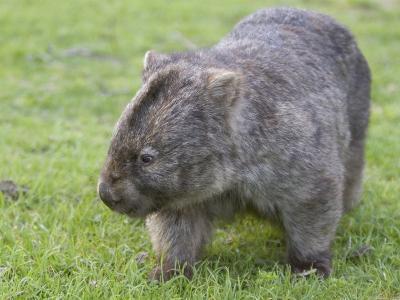 Wombat (Vombatus Ursinus), Wilsons Promontory National Park, Victoria, Australia