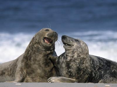 Grey Seal, Halichoerus Grypus, Heligoland, Schleswig-Holstein, Germany