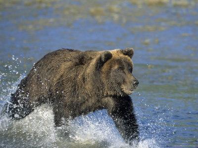 Coastal Brown Bear, Ursus Arctos, Lake Clark National Park, Alaska, USA