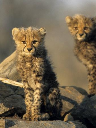 Cheetah Cubs, Acinonyx Jubatus, Duesternbrook Private Game Reserve, Windhoek, Namibia, Africa