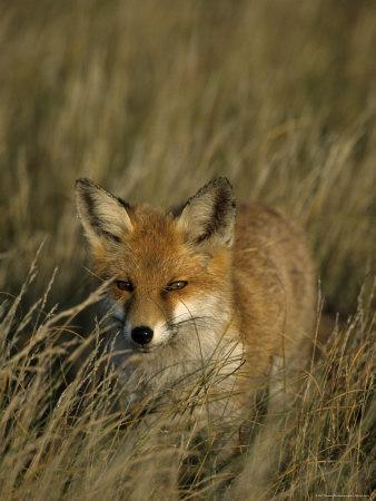Red Fox, Vulpes Vulpes, Fischland, Mecklenburg-Vorpommern, Germany