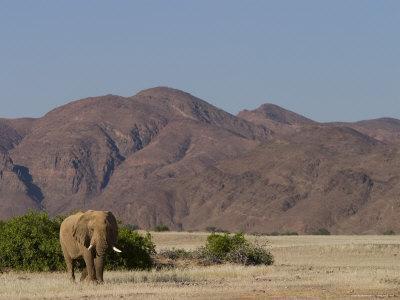 Desert-Dwelling Elephant, Loxodonta Africana Africana, Dry River, Kaokoland, Namibia, Africa