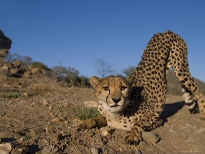 Cheetah, Acinonyx Jubatus, Duesternbrook Private Game Reserve, Windhoek, Namibia, Africa