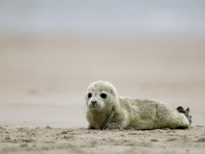 Harbor Seal Cub, Phoca Vitulina, Heligoland, Germany