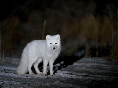 Arctic Fox, Alopex Lagopus, Churchill, Manitoba, Canada