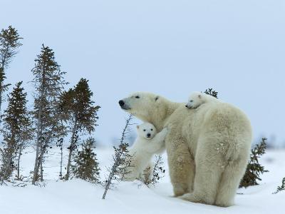 Polar Bear (Ursus Maritimus) Mother with Twin Cubs, Wapusk National Park, Churchill, Manitoba
