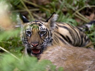 Indian Tiger, Cub at the Samba Deer Kill, Bandhavgarh National Park, India