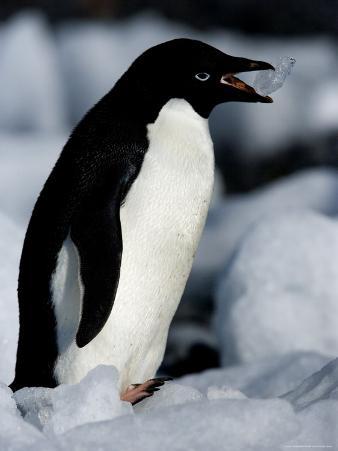 Adelie Penguins (Pygoscelis Adeliae), Browns Bluff, Weddell Sea, Antarctic Peninsula