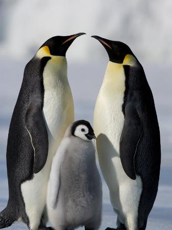 Emperor Penguins (Aptenodytes Forsteri) and Chick, Snow Hill Island, Weddell Sea, Antarctica