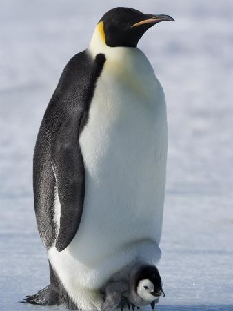 Emperor Penguin (Aptenodytes Forsteri) and Chick, Snow Hill Island, Weddell Sea, Antarctica
