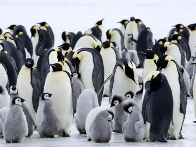 Colony of Emperor Penguins and Chicks, Snow Hill Island, Weddell Sea, Antarctica