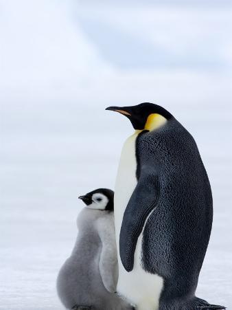 Emperor Penguin (Aptenodytes Forsteri) and Chick, Snow Hill Island, Weddell Sea, Antarctica