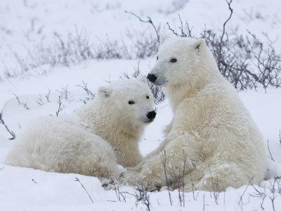 Polar Bears (Ursus Maritimus), Churchill, Hudson Bay, Manitoba, Canada