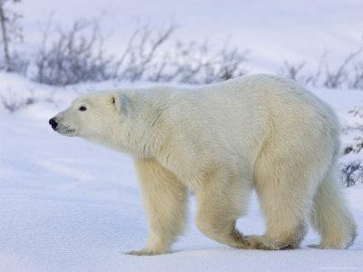 Polar Bear (Ursus Maritimus), Churchill, Hudson Bay, Manitoba, Canada