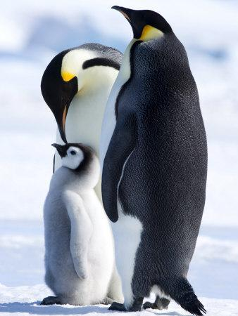Emperor Penguins (Aptenodytes Forsteri) and Chick, Snow Hill Island, Weddell Sea, Antarctica