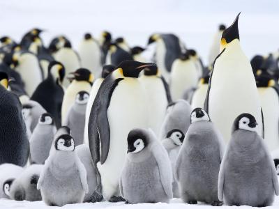 Emperor Penguins (Aptenodytes Forsteri) and Chicks, Snow Hill Island, Weddell Sea, Antarctica