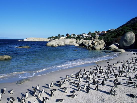 African Penguins At Boulder Beach In Simon S Town Near Cape South Africa
