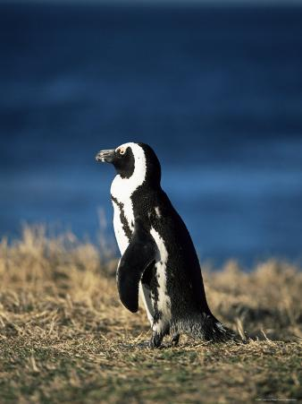 African Penguin at Boulder Beach in Simon's Town, Near Cape Town, South Africa, Africa