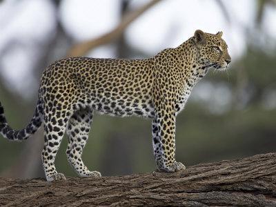 Leopard (Panthera Pardus) Standing on Log, Samburu Game Reserve, Kenya, East Africa, Africa