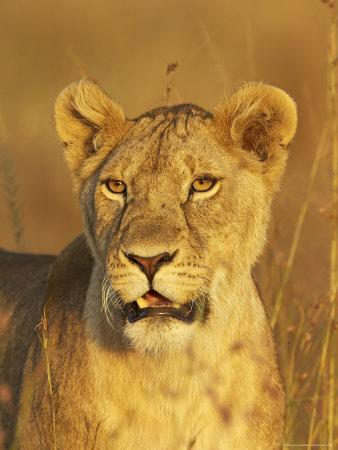 Lioness (Panthera Leo) Portrait in Late-Afternoon Light, Masai Mara National Reserve, Kenya