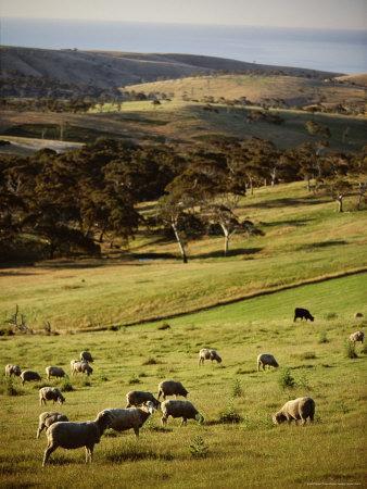 Sheep on Pastureland Near Cape Jervis, Fleurieu Peninsula, South Australia, Australia