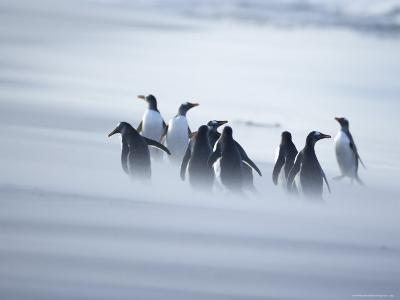 A Group of Gentoo Penguins Caught in a Sand Storm, Sea Lion Island, Falkland Islands, South America