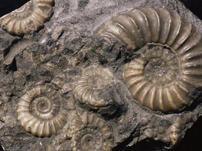 Fossils, Ammonites