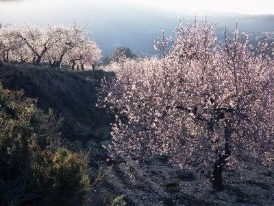 Almond Blossom in Spring, Costa Blanca, Valencia Region, Spain