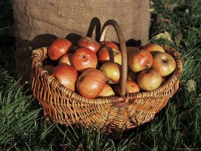 Basket of Cider Apples, Pays d'Auge, Normandie (Normandy), France