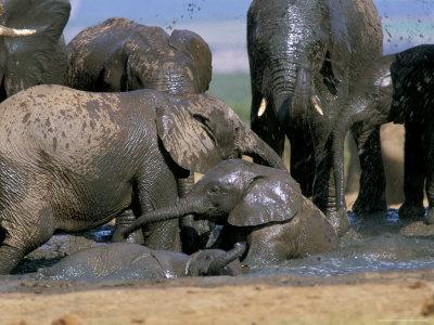African Elephant (Loxodonta Africana) Mudbathing, Addo National Park, South Africa, Africa