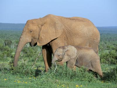 African Elephant (Loxodonta Africana) with Calf, Addo National Park, South Africa, Africa