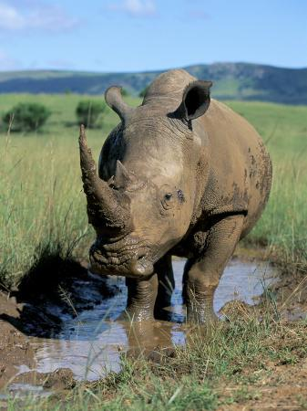 White Rhino (Ceratotherium Simum) Cooling Off, Itala Game Reserve, South Africa, Africa