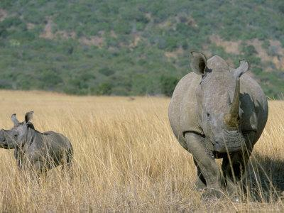 White Rhino (Ceratotherium Simum) Mother and Calf, Itala Game Reserve, South Africa, Africa