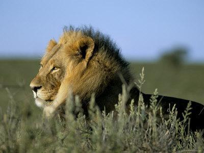 Lion (Panthera Leo), Kalahari Gemsbok Park, South Africa, Africa