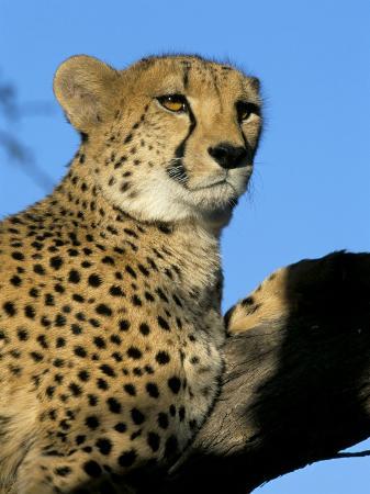 Captive Cheetah (Acinonyx Jubatus) in a Tree, Namibia, Africa