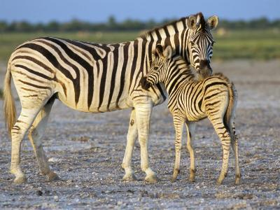 Burchell's Zebra (Equus Burchelli) with Foal, Etosha National Park, Namibia