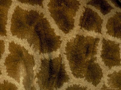 Close-Up of Coat Pattern of Giraffe (Giraffa Camelopardalis), Etosha National Park, Namibia, Africa