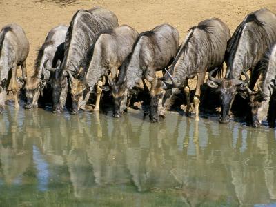 Blue Wildebeest (Connochaetes Taurinus) Drinking at Waterhole, Mkuze, South Africa, Africa