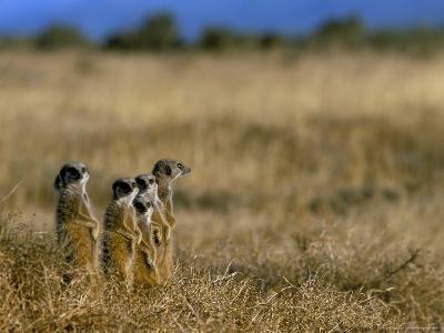 Meerkats (Suricates) (Suricata Suricatta), Addo National Park, South Africa, Africa