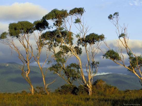 Eucalyptus Trees In Evening Light, Wilson's Promontory