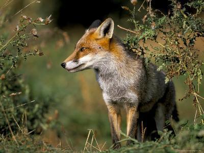 Captive Red Fox (Vulpes Vulpes), United Kingdom