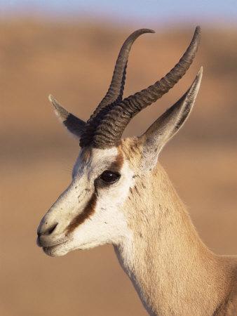 Male Springbok (Antidorcas Marsupialis), Kalahari Gemsbok National Park, South Africa, Africa