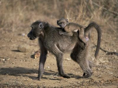 Chacma Baboon Carrying Young, Hluhluwe and Umfolozi Game Reserves, South Africa