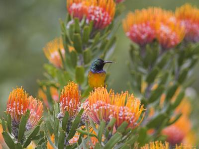 Orange-Breasted Sunbird, Anthobaphes Violacea, Kirstenbosch Botanical Garden, Cape Town