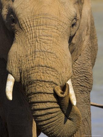 Bull Elephant, Loxodonta Africana, Addo Elephant National Park, Eastern Cape, South Africa