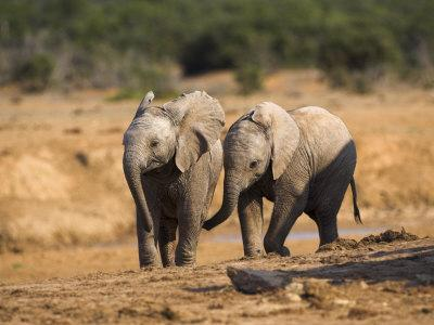 Baby Elephants, Playing in Addo Elephant National Park, South Africa