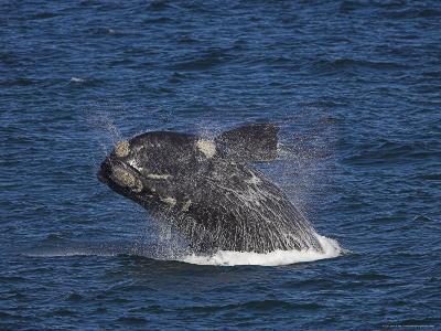 Southern Right Whale, Eubalaena Australis, Hermanus, South Africa, Africa
