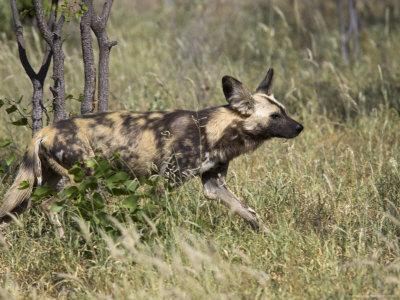 African Wild Dog, Lycaon Pictus, Venetia Limpopo Nature Reserve, South Africa, Africa